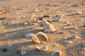 Shells and rapana on the sand