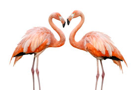 image of heart shape  - Two colorful flamingos looking at each other and building a heart - JPG