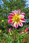 Multicolor Dahlia Flower In The Botany Garden poster