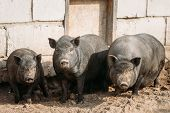 Household A Large Black Pigs In Farm. Pig Farming Is Raising And Breeding Of Domestic Pigs. It Is A  poster