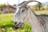 gray domestic goat
