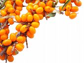 branch of fresh orange buckthorn