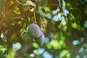Mango Fruit Ripe On Garden Tree. Exotic Summer Mango Fruits poster