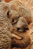A huddle of furry loving Prairie Dogs poster