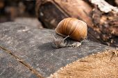 Постер, плакат: Close Up View Of Burgundy Snail helix Roman Snail Edible Snail Escargot Crawling On The Trunk O