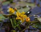 Fringed Water-lily Nymphoides Peltata . Fringed Water Lily, Yellow Floating Heart, Water Fringe poster