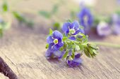 stock photo of forget me not  - Flowers of forget - JPG