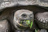 Galapagos Giant Tortoise eating grass on Santa Cruz Island in Galapagos Islands. Galapagos Tortoises poster
