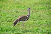 African Bird Kori Bustard