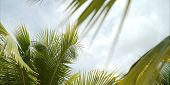 Leaves Of A Palm Tree. Palm Trees Against The Sky. A Palm Leaf. poster