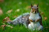 Cute Common Brown Squirrel Close-up