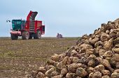 Agricultural Vehicle Harvesting Sugar Beet. Red Combine Harvester On Field. poster