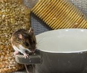 Front View Of A Wild Brown House Mouse, Mus Musculus, Balancing On The Handle Of A Gray And White Bo poster