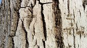The Bark Of An Old Thick Tree. Light Gray Trunk Color With Dark Cracks. Wood Texture. Tissues Locate poster