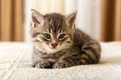 Cute Tabby Kitten Lies On White Plaid At Home. Newborn Kitten, Baby Cat, Kid Animal And Cat Concept. poster