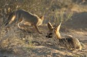 The Cape Fox (vulpes Chama) Laying On The Sand In Kalahari Desert. Cape Fox In Evening Sun With The  poster