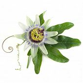 Passiflora caerulea, known also as the passion flowers or passion vines on a white background poster