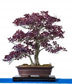 Purple Smoke Bush As Bonsai Tree