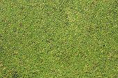 The green duckweed