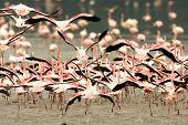 Running Crowd of Flamingo