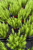 rosemary plants in basket