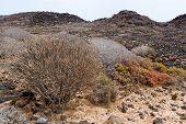 Plantas suculentas floreciente en la isla de Lobos, Fuerteventura, Islas Canarias, España