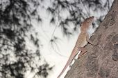 common small brown lizard