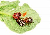?hree Colorado Potato Beetle On A Leaf  Isolated  On  White
