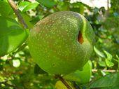 Japonica Quince Fruit