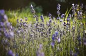 Beautiful Detail Of A Lavender Field