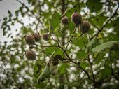 Common Medlar On A Branch In Jungle. Jungle Fruit. Common Medlar At A Tree With Blurred Background.  poster