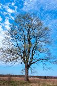 A Lonely Tree Against The Sky, A Symmetrical Tree Without Leaves poster