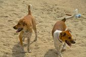 Canine Mates. Two Attractive Fit Healthy Happy Dogs Together Roaming On A Seaside Tropical Sandy Bea poster
