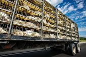 Low Angle And Side View Of A Transportation Turkey Truck On The Roads, Lot Of White Turkeys In Cages poster