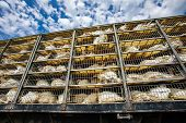 Low Angle Of Live White Turkeys In Transportation Truck Cages, The Process Of Transporting Poultry F poster