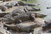 Feeding Crocodiles On A Crocodile Farm. Crocodiles In The Pond. poster