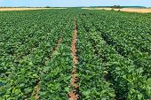 Soybean (glycine Max) Cultivated Field In Diminishing Perspective poster