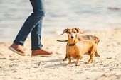 Two Dachshund Play On The Beach. Two Small Dogs Playing Together Outdoors. Dachshunds Two Dogs Of Th poster