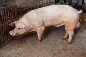 foto of pig-breeding  - Old boar on pig farm - JPG
