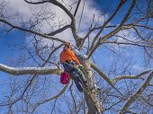 stock photo of cutting trees  - Tree pruning and cutting by a lumberjack in winter months - JPG