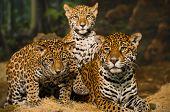 Постер, плакат: Jaguar семья
