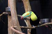 Rainbow Billed Toucan, Ramphastos Sulfuratus