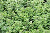 Oregano Plants To The Market In Italy