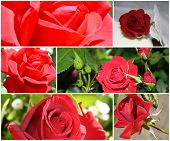 Red Rose Montage