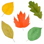 Set Of Colorful Autumnal Tree Leaves, Watercolor Hand Painted, Isolated
