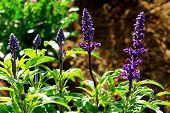 image of herbacious  - bright image of salvia plant in the garden - JPG