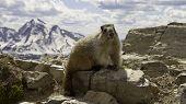 Marmot on mountain