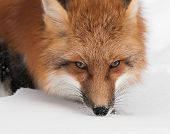 Red Fox (Vulpes vulpes) Close Up