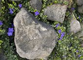 Blue Vinca Vines on Rock Wall