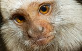 picture of marmosets  - Four Geoffroy - JPG